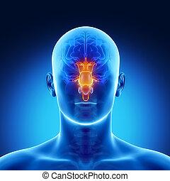 茎, 中に, マレ, 脳, 部分, 解剖学
