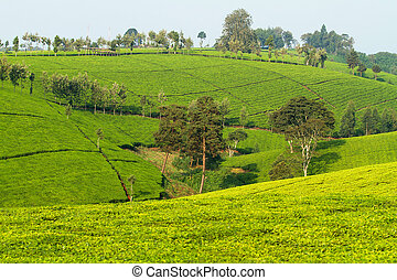 茶プランテーション, 中に, kenya