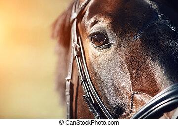 茶色の馬, 目, 顔, クローズアップ, 湾