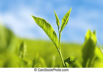茶, leaves.