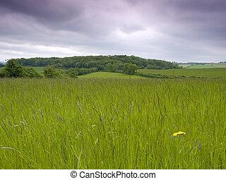 草が茂った, 牧草地