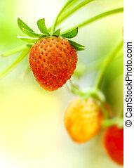 草莓, 水果, 上, the, branch.