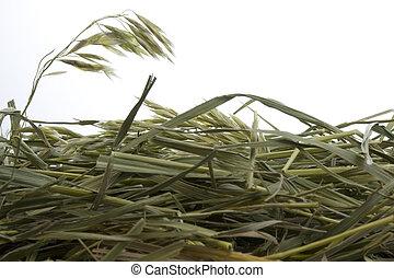 草, 干草, 对, 白的背景