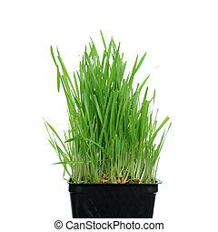 草, 生長, 從, 根