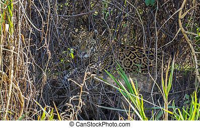 荒野, 美洲虎, 後面, 植物, 在, 河岸, pantanal, 巴西