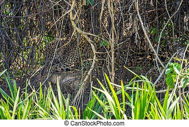 荒野, 美洲虎, 舔, itself, 後面, 植物, 在, 河岸, pantanal, 巴西