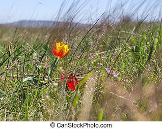 荒野, 鬱金香, 在, 草