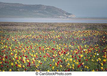 荒野, 鬱金香, ......的, 紅和黃, 在, 綠色的草