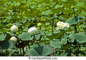 莲, 白色, nature.