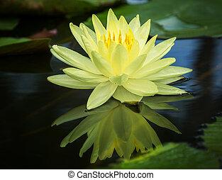 莲, 黄色