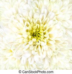 菊, 白い花, クローズアップ, 頭