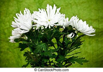 菊, 花, 植物