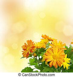 菊, 花, 背景