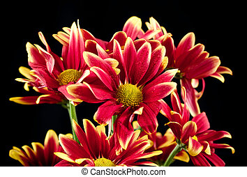 菊, 花, 赤