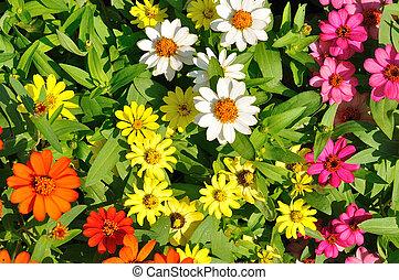 菊, 花, 金, デイジー