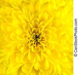 菊, 頭, 花, クローズアップ, 黄色