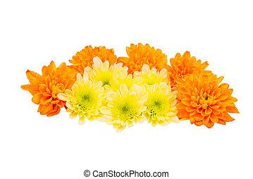 菊, 頭, 花