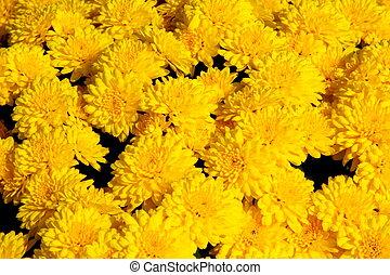 菊, 黄色の背景