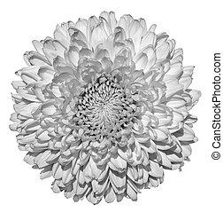 菊, (golden-daisy), 花, 黒い、そして白い, マクロ, 写真撮影, 隔離された, 白