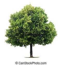 菩提樹, 樹