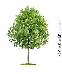 落葉性, 白, 木, 隔離された, 背景