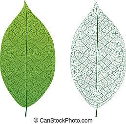 葉の 静脈