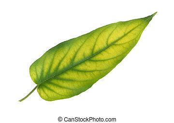 葉パターン, 隔離された, 黄色緑, 背景, 白
