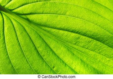 葉子, 結構, 綠色