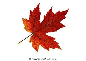 葉子, 顏色, 單個, 2, 秋天, 改變, 楓樹