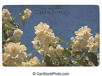 葉書, 花, 古い, 咲く, jasmine.