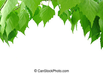 葉, シラカバ