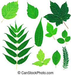 葉, セット, 緑, 隔離された, 白