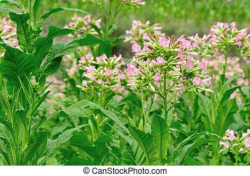 葉, タバコ, 植物