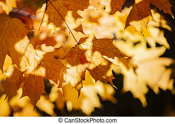 葉, バックライトを当てられる, かえで, 秋