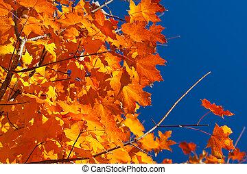 葉, バックライトを当てられる, 木, 黄色, 秋, オレンジ, 秋, かえで, 赤