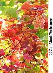 葉, ブドウ