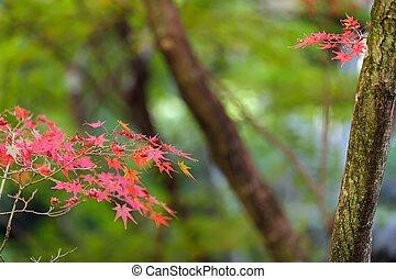 葉, 木, 赤いカエデ