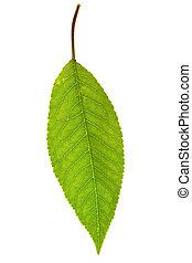 葉, 甘い, さくらんぼ, 隔離された