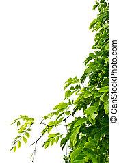 葉, 白い背景