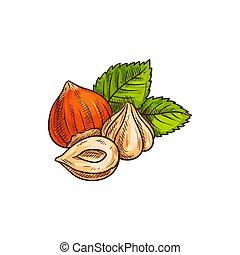 葉, 皮をむかれた, filbert, スケッチ, ヘイゼルナッツ, cobnut