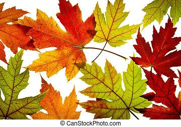 葉, 秋の色, バックライトを当てられる, 混ぜられた, かえで