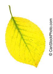 葉, 秋, さくらんぼ