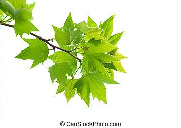葉, 緑, かえで, ブランチ