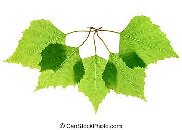 葉, 緑, 隔離された, シラカバ