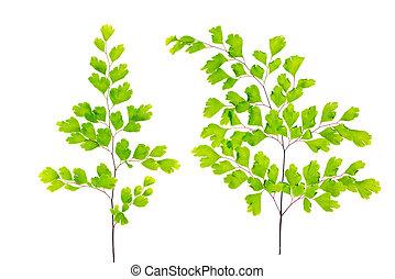 葉, 隔離された, シダ, 緑の背景, 白, maidenhair