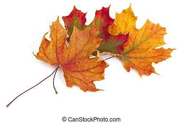 葉, 隔離された, 秋, 背景, 白, かえで