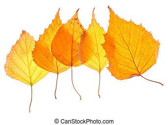 葉, 隔離された, 黄色, シラカバ