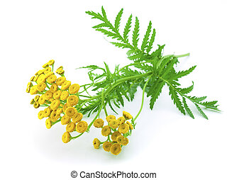葉, 隔離された, 黄色, tansy, 緑の背景, close-up., 白い花