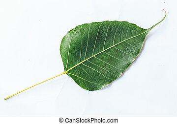 葉, 隔離された, bodhi, 背景, 白, 静脈