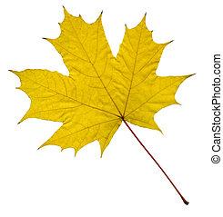 葉, 黄色, かえで